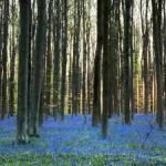 Bluebells are ringing